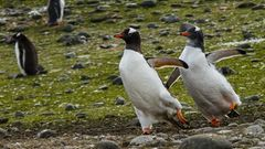 Die Choreographie sitzt: Zwei Pinguine stellen ihre (Eis-)Tanzkünste unter Beweis. Vielleicht eine Bewerbung für die Olympischen Winterspiele? Das mutmaßt zumindest Fotograf Andre B. Erlich.Ihre Weggefährten können sie mit ihrem synchronen Auftritt aber nicht beeindrucken, die sehen gelangweilt weg.