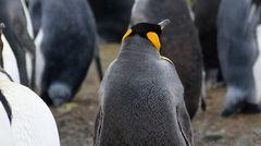 Dieser Pinguin tanzt gerade nicht durch die Gegend. Er scheint andere Probleme zu haben ... Dass Fotograf Eric Keller ihn auf South Georgia Island in genau diesem Moment erwischte, schien dem Pinguin unangenehm gewesen zu sein. Er schaute sich schnell um und tat dann,als sei nie etwas gewesen.