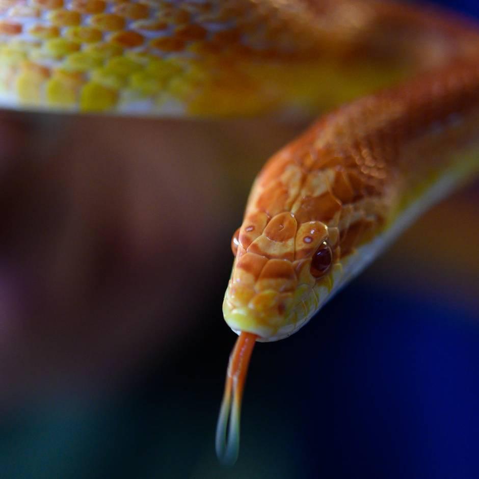 Nachrichten aus Deutschland: Schlange verschwunden - Polizei sucht Besitzer