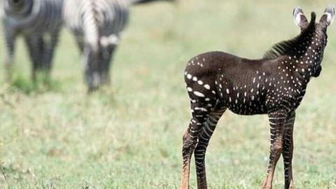 Ein Zebra-Fohlen mit dunklem Fell und weißen Punkten
