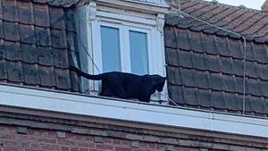 Der Panther spazierte seelenruhig über die Dächer und schautedurch ein Fenster
