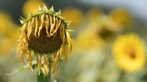 Vertrocknete Sonnenblume lässt die Blüte hängen