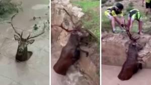 Hirsch gerettet: Fahrradclub zieht Tier aus Wassergrube