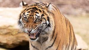 Ein Tiger hat in Russland einen Jäger angegriffen und getötet (Symbolbild).