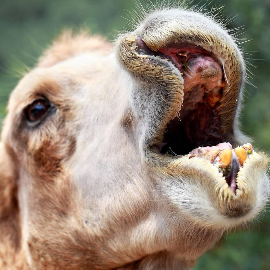 Louisiana: Kamel setzt sich auf Frau – sie beißt ihm in die Hoden