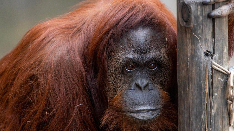 Ein Orang-Utan-Weibchen hält sich mit der linken Hand an einem Baumstamm fest