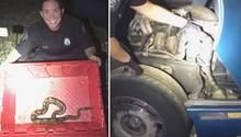 USA: Polizisten retten Python aus Motorraum
