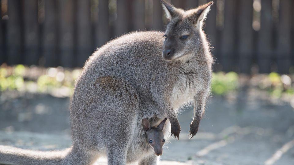 Ein Känguru mit seinem Jungen im Zoo Hoyerswerde