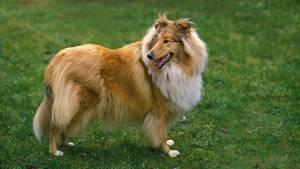 Collies sind beliebte Rettungs- und Therapiehunde