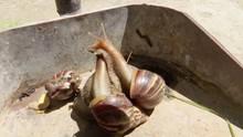 Kuba kämpft gegen Plage: Invasion der Riesenschnecken