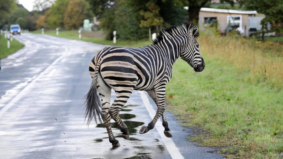 Dieses Zebra ist mit einem Artgenossen aus einem Zirkus ausgebrochen. Weil es nicht eingefangen werden konnte, wurde es erschossen