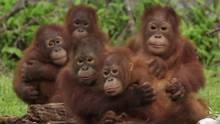 """Orang-Utan-Babys auf Borneo bekommen einen Schrecken während ihrer sogenannten """"Waldschule""""."""