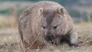 Wombats sind Pflanzenfresser, diebis zu 1,2Meter lang werden