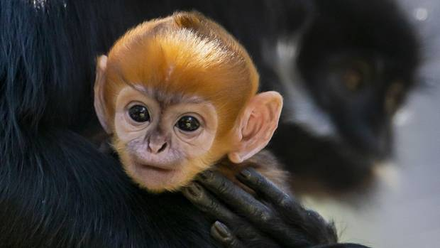 Ein neu geborenes Torin-Schwarzlangur Affenbaby mit organgenem Kopf