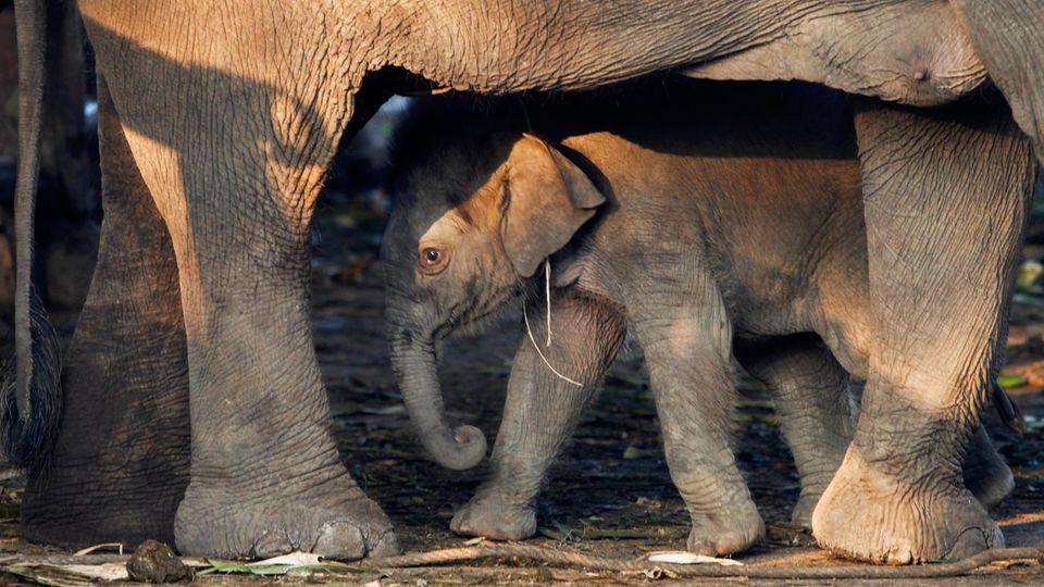 Abgebildet ist ein Jungtier bei seiner Mutter, während der Feierlichkeiten zum nationalen Elefantentag im März.