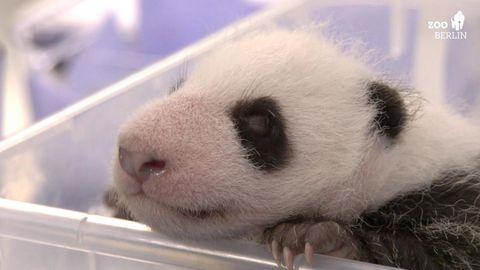 Pandababy wiegt schon 1400 Gramm