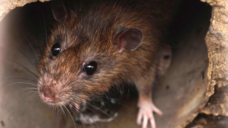 Rattenlungenwurm auf Mallorca: Eine Ratte sitzt in einem Rohr