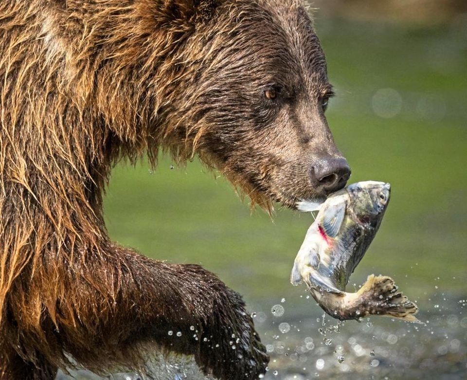 Ein Bär macht Jagd auf Fisch