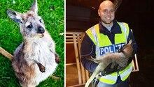 Wallaby eingefangen: Wer vermisst das Mini-Känguru?