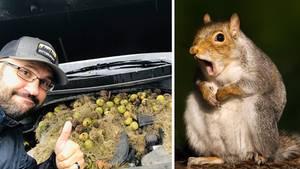 Eichhörnchen horten mehr als 200 Walnüsse unter einer Motorhaube