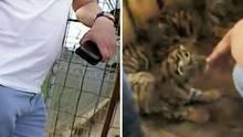 Videomaterial von Vier Pfoten zeigt, wie Händler vier Tigerwelpen verkaufen wollen
