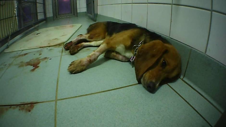 Hund im Labor