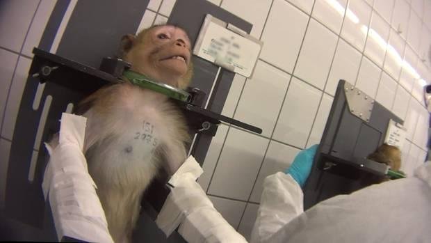Affen im Labor