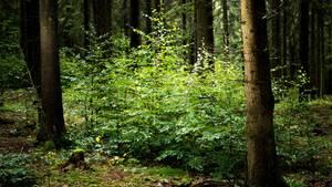 Nachrichten aus Deutschland – Junge Laubbäume in einem Mischwald in Deutschland