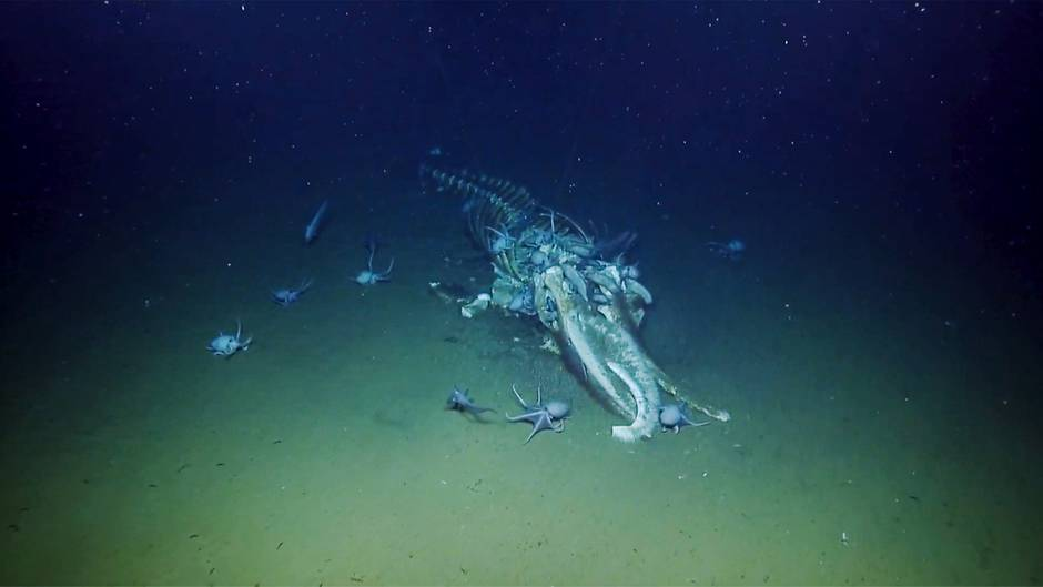 """Forscher sprechen von """"Walsturz"""": Festessen auf dem Meeresgrund: Hier wird ein toter Wal bis auf die Knochen abgenagt"""