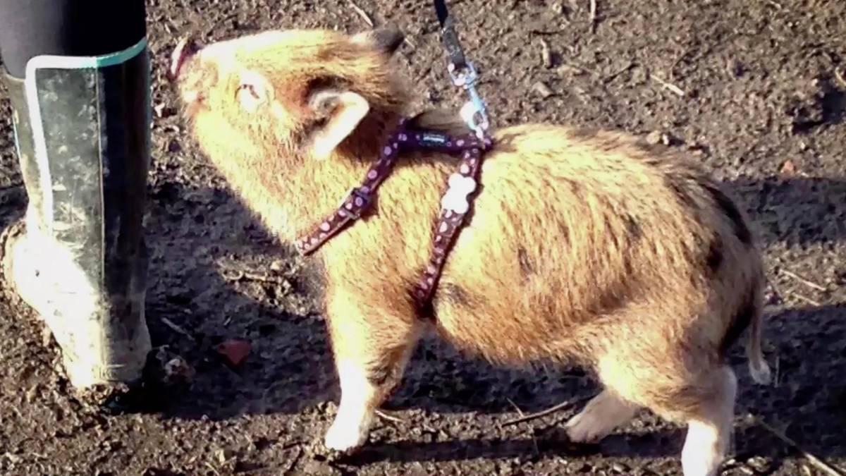 Ein Schweinchen namens Grace: Minischwein als Geburtstagsgeschenk – Irrtum beschert Familie grunzendes 178-Kilo-Haustier