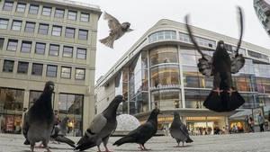 Tauben und Spatzen sind auf der Königstraße unterwegs