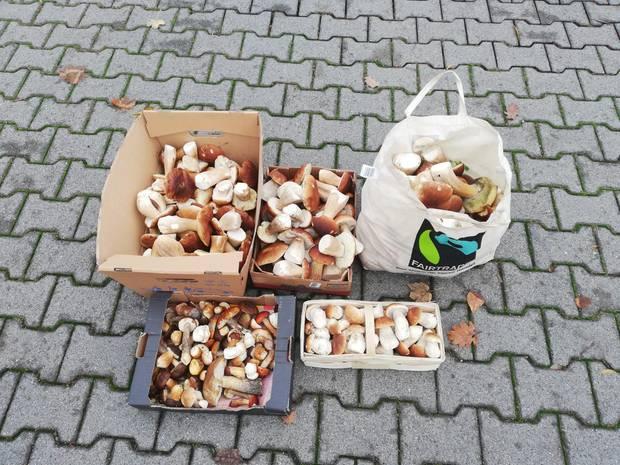 Fast 20 Kilogramm, größtenteils Steinpilze, entdeckten Polizisten bei einem Sammler in Rheinland-Pfalz