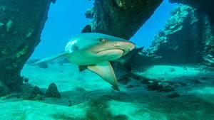 Ein solcher Weißespitzenhai soll der Französin beide Hände abgebissen haben