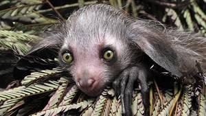 Durham, USA. Gestatten: Melisandre, Baby-Fingertier, zwei Monate alt. Im Duke Lemur Center lebt sie als seiner der sehr wenigen Lemuren ihrer Art, die in Madagaskar beheimatet und vom Aussterben bedroht sind.