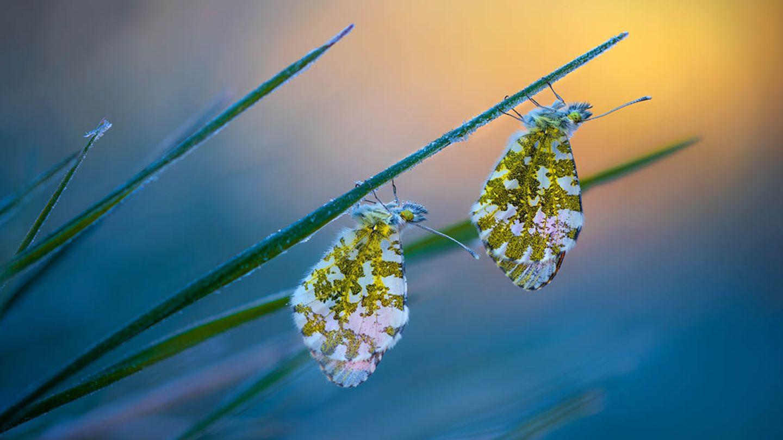 """Cold Morning Tips"" zeigt zwei Schmetterlinge"