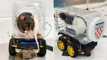 USA: Forscher bringen Ratten das Autofahren bei