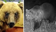 Bär in Bayern entdeckt. Fachleute sind begeistert, Almbauern skeptisch
