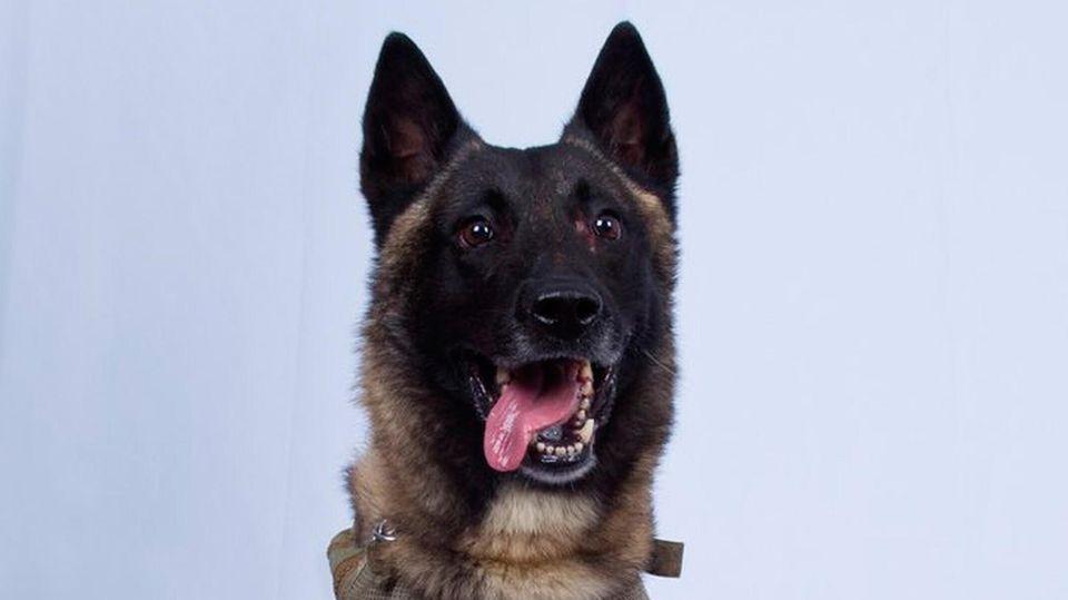 Der Diensthund des US-Militärs, der Abu Bakr al-Bagdadi, bei einem Militäreinsatz bis zu dessen Tod verfolgte