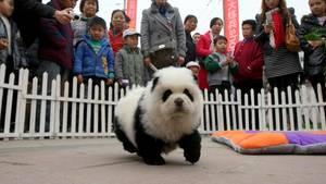 Was aussieht wie ein Pandabär ist allerdings ein Hund. In China könnte das Umfärben von Hunden nun Trend werden.