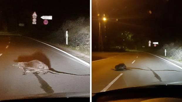 Der Biber versucht den Ast über die Straße zu transportieren