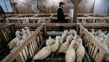 Ein Angestellter in einer Foie-Gras-Farm, umgeben von Gänsen