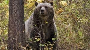 Ein Grizzlybär im US-BundesstaatMontana (Symbolbild)