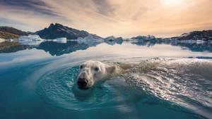 Eisbär im Wasser