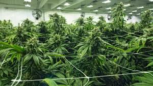 Eine Marihuana-Farm