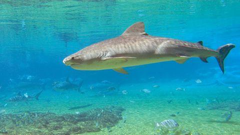Ein Tigerhai schwimmt durch ein lichtdurchflutetes Gewässer