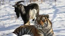 Ziegenbock Timur und der Tiger Amur im Schnee
