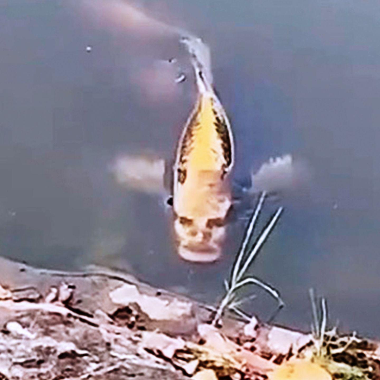 Am kopf hat beule fisch Ein Koi