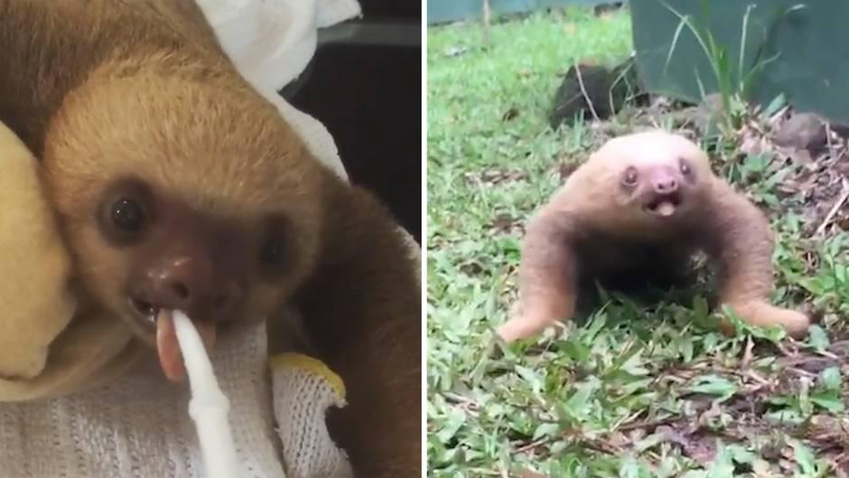 Tierrettung in Costa Rica: Süßer Schreihals: Wie klingt eigentlich ein Baby-Faultier?