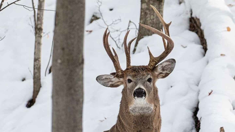 Ein Hirsch mit drei Geweihstangen steht im Wald im Schnee