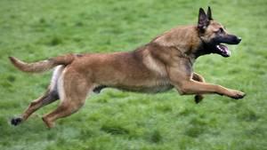 BelgischeSchäferhunde des Militärs habenin Österreich einen Hundeführergetötet (Symbolbild)